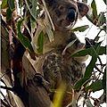 Un <b>koala</b> au détour d'un sentier à Noosa en AUSTRALIE