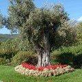 Bel olivier bien entouré