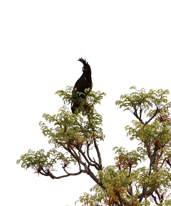 Aigle Huppard, PN Boubandjida, Cameroun