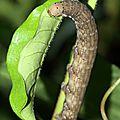 Isognathus scyron