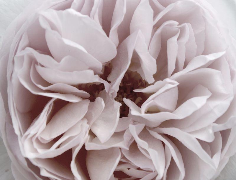 Rose délavé