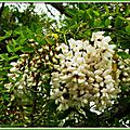 Fleurs d'Acacia 020515