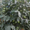2009 07 21 Tomate Russe