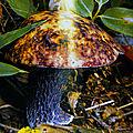 Boletus_violaceofuscus_1998_0001