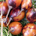 Rougail tomate <b>arbuste</b>