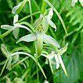 Platanthère à deux feuilles
