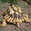 Carapattoa, la tortue diamant modelage en argile rouge.