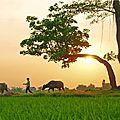 Vietnam. lever de soleil sur la rizière.