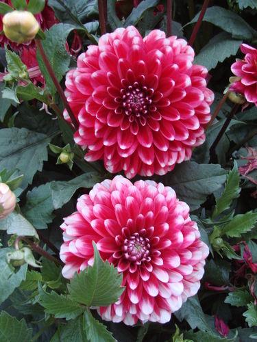 2008 09 16 Deux fleurs de dahlias rouge et blanc