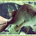 Aquarium de St-Gilles les Bains (1/11) - Recette du cari de <b>poisson</b> <b>rouge</b>