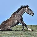 Les chevaux du poët