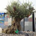 Parc Expo2010-Foli'Flore § bonsai (10)