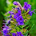 Hysope (Hyssopus officinalis)