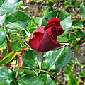 Rose 0505164