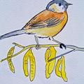 Mesange nonnette - beautiful bird