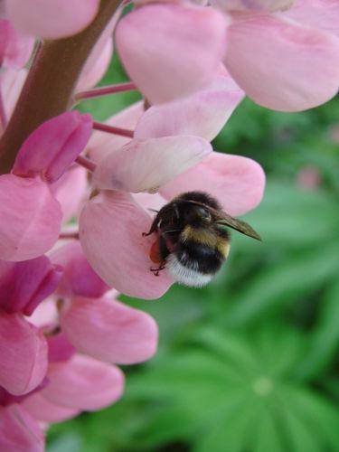 2008 06 24 Une abeille qui butine un lupin