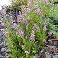 Erica carnea, des bruyères rustiques qui bravent les frimas