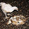 Poulet-mangeant-poulet-mort