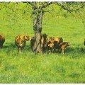 Vaches à l'herbe