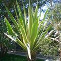 Agave sp. • Famille des Agavaceae
