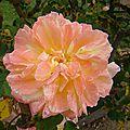 pin_rose7