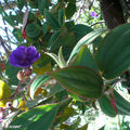 Tibouchina semidecandra • Tibouchine du Brésil • Melastomataceae