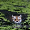 Swimming tiger by henrik vind