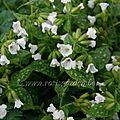 Pulmonaria officinalis 'sissinghurst white'