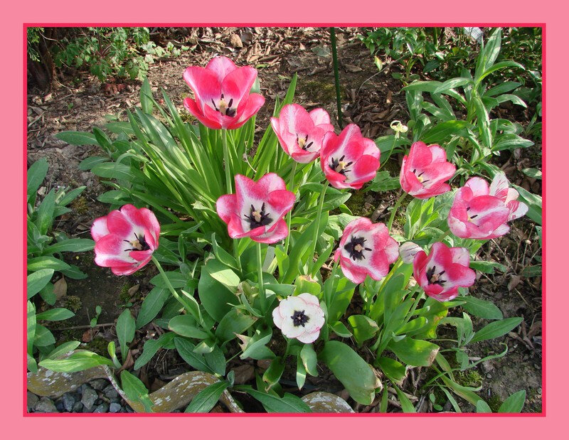 tulipes 5