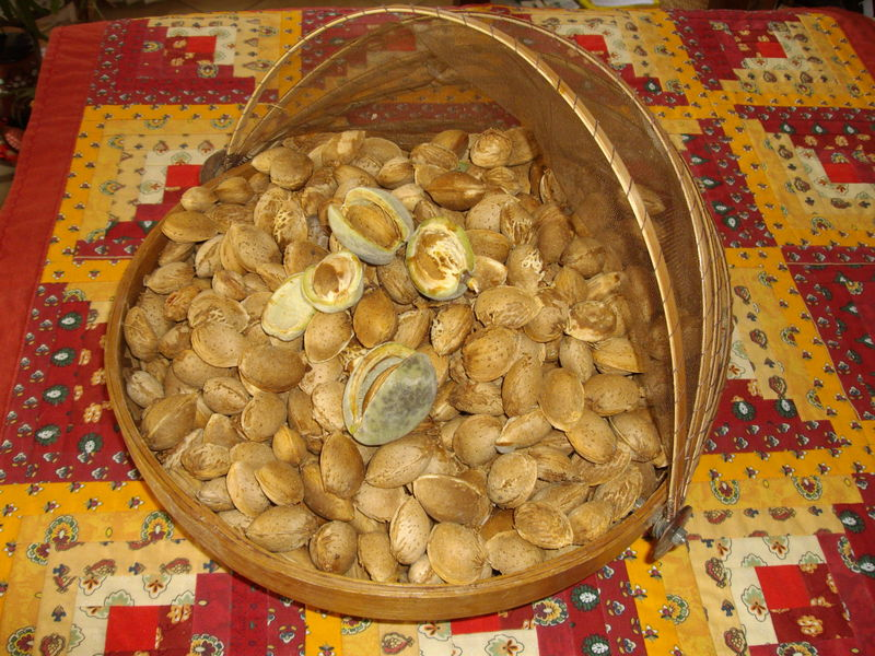 amandes (récolte)