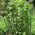 Groseiller (Ribes sp.)
