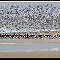 Des centaines de limicoles autour de l'Ile d'Oléron