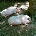 09 - Le cochon