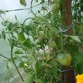 2008 07 16 De nombreuses tomates coeur de boeuf
