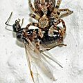 Saltique lanigère • Pseudeuophrys lanigera (en prédation)