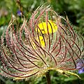 Fleurs de rocailles (4)