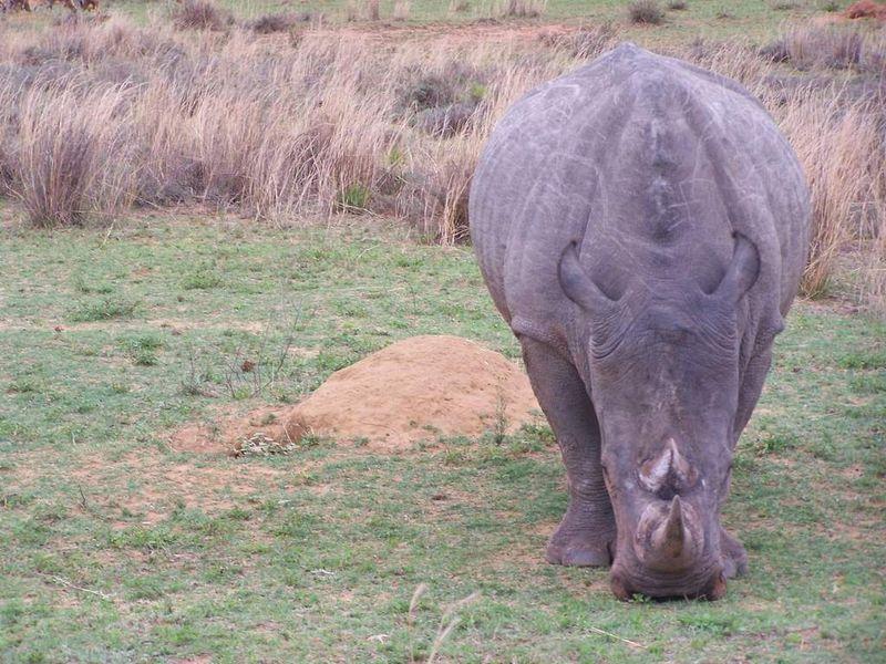 rhinoceros d'afrique (encore un peu de verdure)