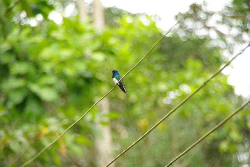 Colibri (Florisuga mellivora)