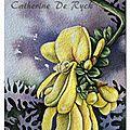 Flore irlandaise, genêt à balais / irish broom (cytisus scoparius)