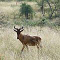 4-Antilope Bubal