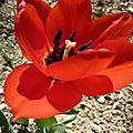 Tulipes et jacinthes.