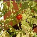 La première tomate cerise (2)