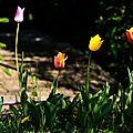 tulipes (Large)
