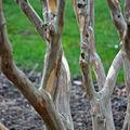 Ecorce et troncs tortueux assurent le spectacle en hiver