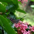 Papillon vole – les saintes # 6