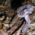 Un champignon violet comme une pierre précieuse
