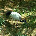 Ibis sacré - Threskiornis aethiopicus (1)