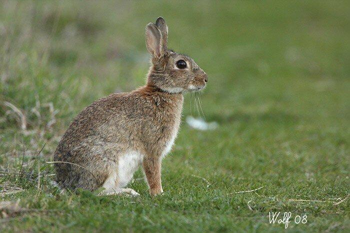 Lapin de garenne pour doms mes derni res photos - Cuisiner un lapin de garenne ...