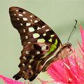 Butterfly (35)
