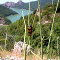 Clairon des abeilles • Trichodes apiarus • Cleridae
